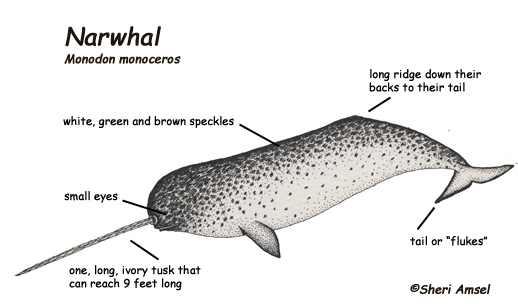 Narwhal Research By Izzy O U0026 39 Reilly